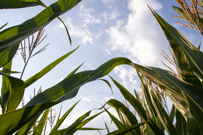 cornfield for bioenergy production